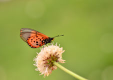 Butterfly on a wild meadow flower Royalty Free Stock Photo