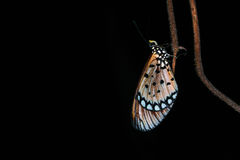 Butterfly. In the wild at night Stock Photos