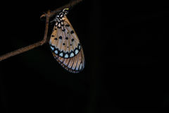 Butterfly. In the wild at night with black background Royalty Free Stock Photography