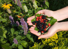 Butterfly,wild strawberries and blackberries Stock Images