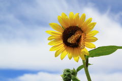 Butterfly on Wild Sunflower Stock Image