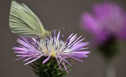 Butterfly on wild thistle Stock Images