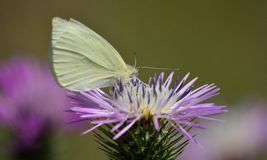 Butterfly on wild thistle Royalty Free Stock Photos