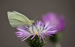 Butterfly on wild thistle Stock Photography