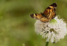 Butterfly on Wildflower Background. A beautiful silvery checkerspot butterfly sits upon a white wildflower with a blurred green background, with room for text royalty free stock photos