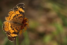Butterfly on Wildflower Background. A beautiful silvery checkerspot butterfly, with wings spread open, sipping nectar from a yellow wildflower on a blurred dark stock photo
