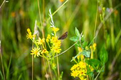 Butterfly on wildflower, field , insect