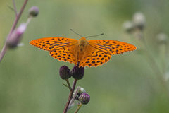 Butterfly. On wildflowers Cirsium arvense Stock Photo