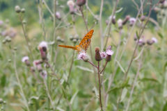 Butterfly. On wildflowers Cirsium arvense Royalty Free Stock Images