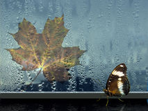 Butterfly on window with drop. In rain and autumn sheet maple royalty free stock photos