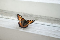 Butterfly on window. Butterfly at the window on the white window sill royalty free stock photos