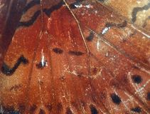 Butterfly wing detail Royalty Free Stock Image