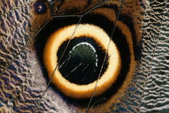 Butterfly wing detail. A close-up of a tropical butterfly's wing detail(Venezuela Stock Image
