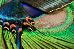 Butterfly wing and feather. Abstract picture of Butterfly wing and peacock feather Stock Photography