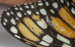 Butterfly wing of old worn Monarch