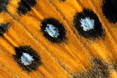 Butterfly wing, Painted Lady, Vanessa Kershawi Stock Image