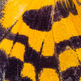 Butterfly wing texture, close up of detail of butterfly wing for Royalty Free Stock Photo
