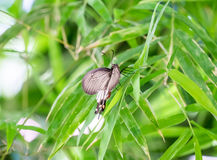 Butterfly winged beautiful hold green leaf Royalty Free Stock Image