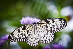 Butterfly Wings. A White Butterfly Wings Wide Open stock photography