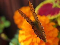 Butterfly wings as an art form stock images