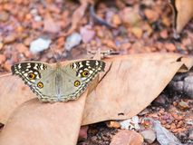 Butterfly wings black brown on the dry leaves Stock Image