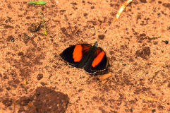 Butterfly with wings in black, orange and dark purple. Colors. Farm butterfly resting on sandy soil royalty free stock image