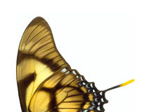 Butterfly wings. Stock Image