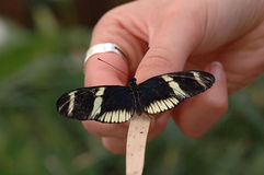 Butterfly with wings spread. A small black butterfly with its wing spread open rests on a person's hand Royalty Free Stock Photography