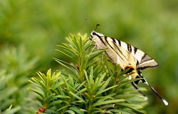 A white butterfly sits on a green fir branch. royalty free stock photo