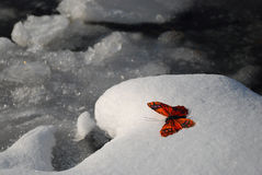 Butterfly in winter Stock Image