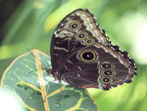 Free Butterfly With Eyes On Wings Stock Images - 76381064