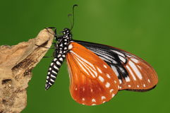 Butterfly on wood,chilasa agestor Royalty Free Stock Photos