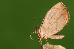 BUTTERFLY ON WOOD,  miletus chinensis Royalty Free Stock Image