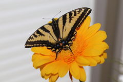Butterfly world- Swallowtail butterfly with white background. Royalty Free Stock Image