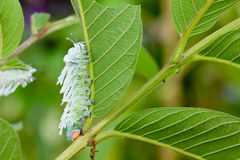 Butterfly worm on green leaf Royalty Free Stock Photography