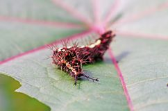 Butterfly worm on leaf Stock Images