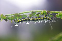 Butterfly worm with morning dew droplets Stock Photo