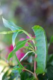 Butterfly worm on plant shoot. A butterfly worm is staying on the plant shoot Royalty Free Stock Photography