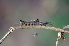 Butterfly worm and the spider. Are living around the plant Stock Photography