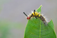 Butterfly worm Stock Image