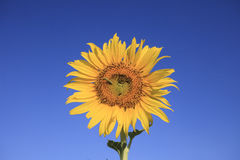 Butterfly worm on yellow sunflowers against beautiful clear blue Stock Photos