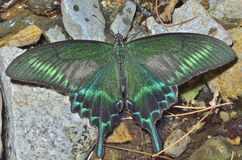 Butterfly & x28;Papilio maackii& x29; 31 Stock Image
