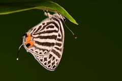 Butterfly/Yamamo tozephyrus royalty free stock image