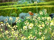 Butterfly and yelllow wallflowers blooming in spring in Hamilton Gardens Stock Photos