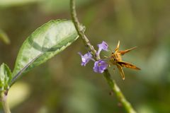 Butterfly, Yello Palm Dart -Cephrenes trichopepla stock image