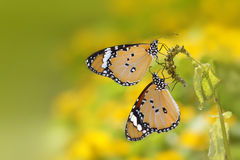 Butterfly yellow Royalty Free Stock Photo