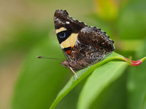 Butterfly Yellow Admiral, Vanessa itea, male, australian butterf Stock Photo
