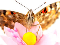 Butterfly with yellow balls Stock Photography