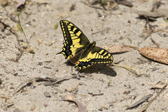 Butterfly. Yellow and black butterfly in the ground Royalty Free Stock Image