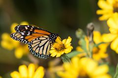 Butterfly. Yellow, black and orange butterfly resting on a yellow flower stock photography